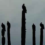 Falconi e avvoltoi